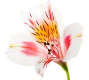 在白色隔绝的新鲜的Astromeriya花 库存图片