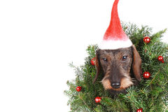 在白色隔绝的新年装饰的头发的达克斯猎犬 库存照片