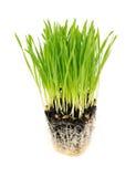 在白色隔绝的新wheatgrass 图库摄影