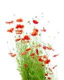 在白色隔绝的明亮的红色虞美人(罂粟属Rhoeas) 库存图片
