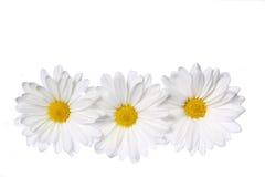 在白色隔绝的春黄菊花 库存图片