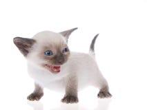 在白色隔绝的暹罗小猫 免版税图库摄影