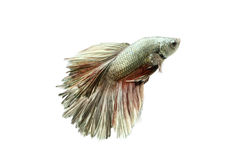 在白色隔绝的暹罗战斗的鱼:包括的裁减路线 免版税库存照片