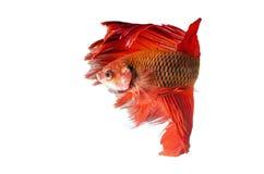 在白色隔绝的暹罗战斗的鱼:包括的裁减路线 图库摄影