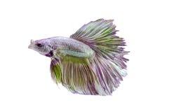 在白色隔绝的暹罗战斗的鱼:包括的裁减路线 库存照片