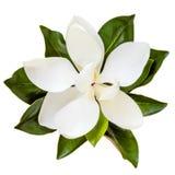 在白色隔绝的木兰花顶视图 免版税库存照片