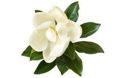 在白色隔绝的木兰花 免版税库存照片
