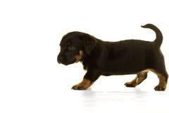 在白色隔绝的杰克罗素小狗 库存图片