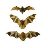 在白色隔绝的果实蝙蝠集合 库存图片