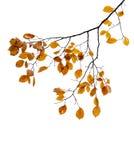 在白色隔绝的树枝的黄色秋季叶子 免版税库存照片