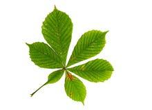 在白色隔绝的栗树绿色叶子 图库摄影