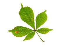 在白色隔绝的栗树绿色叶子 库存图片