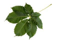 在白色隔绝的栗树绿色叶子 免版税库存图片