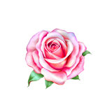 在白色隔绝的桃红色小的罗斯花 免版税库存图片