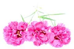 在白色隔绝的桃红色康乃馨花 库存图片
