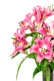 在白色隔绝的桃红色百合花开花 新鲜的花束 免版税库存照片