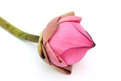 在白色隔绝的桃红色莲花 库存图片