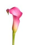 在白色隔绝的桃红色水芋百合的花 库存图片