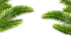 在白色隔绝的棕榈树叶子 免版税库存照片