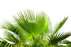 在白色隔绝的棕榈树叶子 库存照片