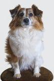 在白色隔绝的棕色坐垫的逗人喜爱的混合品种狗 免版税图库摄影