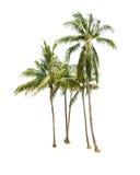 在白色隔绝的椰子树 免版税库存照片