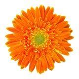 在白色隔绝的橙色大丁草花 免版税库存图片