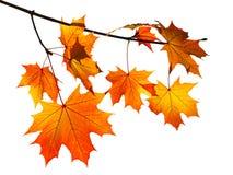 在白色隔绝的橙色秋天槭树叶子 库存照片