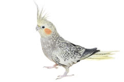 在白色隔绝的母小形鹦鹉 免版税图库摄影