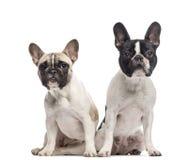 在白色隔绝的法国牛头犬夫妇  免版税库存照片