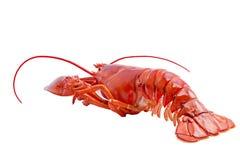 在白色隔绝的波士顿龙虾 免版税库存图片