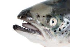 在白色隔绝的海鳟头 免版税库存图片