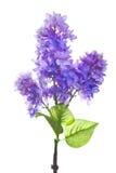 在白色隔绝的淡紫色人造花 免版税库存照片