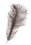 在白色隔绝的深灰驼鸟羽毛 库存图片
