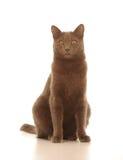 家猫   免版税库存照片