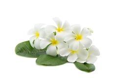 在白色隔绝的热带花赤素馨花羽毛 库存照片