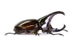 在白色隔绝的犀牛甲虫 图库摄影