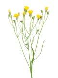 在白色隔绝的狂放的小黄色花 库存照片