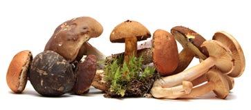 在白色隔绝的狂放的被搜寻的蘑菇选择 免版税库存照片