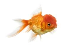 在白色隔绝的狮子顶头金鱼的侧视图 免版税库存照片