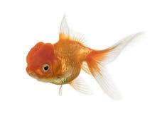 在白色隔绝的狮子顶头金鱼的侧视图 库存照片