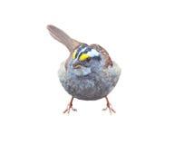 在白色隔绝的白红喉刺莺的麻雀 图库摄影