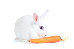 在白色隔绝的白色兔子拿着红萝卜 免版税库存图片