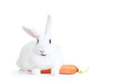 在白色隔绝的白色兔子拿着红萝卜 库存照片