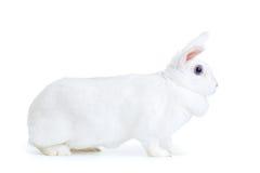 在白色隔绝的白色兔子看照相机 免版税库存照片