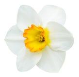 在白色隔绝的白色和橙色水仙花 库存图片
