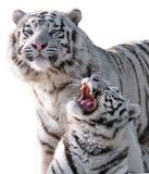 在白色隔绝的白色老虎豹属底格里斯河bengalensis 库存照片