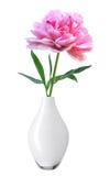 在白色隔绝的白色花瓶的美丽的桃红色牡丹 免版税库存图片