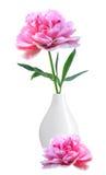 在白色隔绝的白色花瓶的美丽的桃红色牡丹 图库摄影