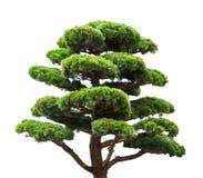 在白色隔绝的盆景绿色杉树 库存照片